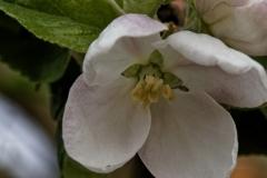 Apfelblüte02F